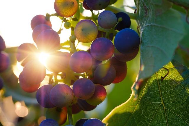 Owoce dojrzewajace w słońcu
